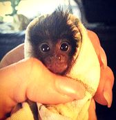 We Love Marmosets -