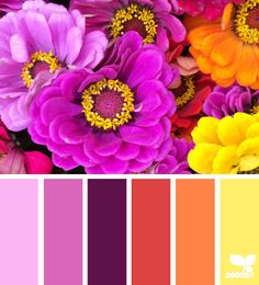 zinnia brights by design seeds