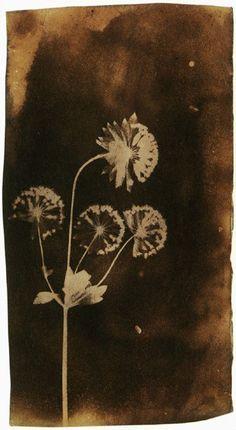 birch, drawings, dandelion, flora, fox talbot, photogen draw, creat art, talbots, foxes