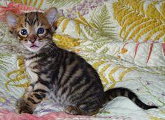 Toyger kitten!