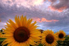 garden grow, favorit place, hello sky, hello sunshin, illumin sunflow, thing beauti, sunflowers, heart sunflow, flower galor