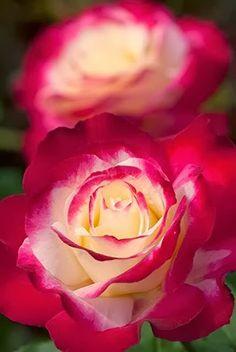 Red Morning Rose