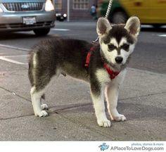 mini husky; I need you