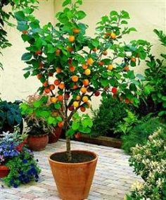 Loving these dwarf fruit trees lately.