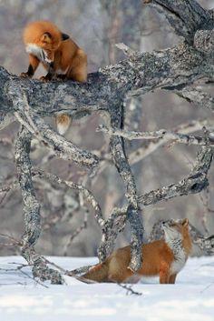 foxi, anim, winter, snow, creatur, natur, fox style, foxes, red fox
