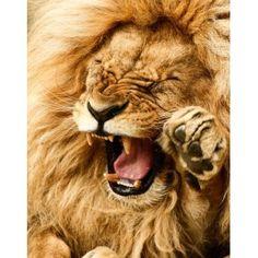 Els lleons: Projecte complert http://ampargm.blogspot.com.es/2010/01/projecte-de-treball-el-lleo_28.html rawr, big cat, wild, anim, roar, creatur, leo, lions, yawn