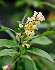 Fragrant Flower: Night-Blooming Jasmine.  Their perfume spreads 20 feet.  A must in any garden.