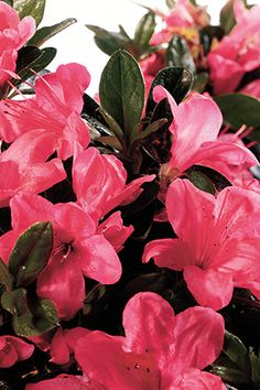 These Encore Azaleas keep the color going in your Asian garden with a repeat bloom in fall. Can just imagine this gorgeous color against the autumn color of the Japanese maples. . . heaven! From Encore Azaleas.