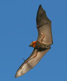 Grey- headed Flying-fox (Pteropus poliocephalus) One of the largest bats in Australia with wingspan of 100cm.