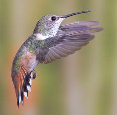 A female Allen's Hummingbird