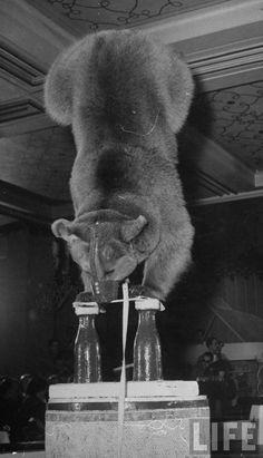 "Performing bear balancing on forelegs in a circus act at the ""Club du Lido"". Gjon Mili"