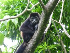 It's Mango season in Costa Rica.  You know who likes Mangos?  Howler monkeys. These babies really get going at about 4 AM everyday. #wholeplanet #microcredit #microfinance