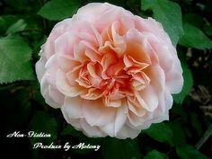 Rose Gruss an Aachen