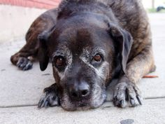 TO BE DESTROYED - 08/29/14 SUPER URGENT 8/23/14 Brooklyn Center   SAMANTHA - A1011388   FEMALE, BR BRINDLE / GRAY, CANE CORSO MIX, 9 yrs STRAY - STRAY WAIT, NO HOLD Reason STRAY  Intake condition EXAM REQ Intake Date 08/21/2014, From NY 11419, DueOut Date 08/24/2014,   https://www.facebook.com/Urgentdeathrowdogs/photos/a.611290788883804.1073741851.152876678058553/859637764049104/?type=3&theater