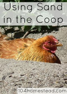 Using Sand in the Coop | The 104 Homestead