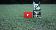 When it comes to balls, a Boston Terrier would be willing to play with them for hours! Watch this!
