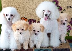 Cute Poodle family!
