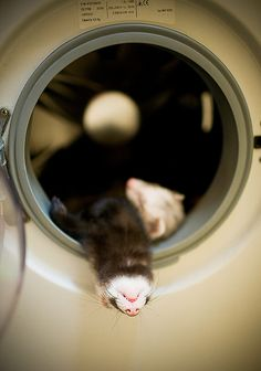 WARNING: Ferrets asleep in a washing machine may look cute but...Washing machines can KILL ferrets. ALWAYS check laundry and washer BEFORE turning on washing machine/dryer, if your ferrets have access to the machines. Better to check than to have a life long regret. Each year ferrets are killed because they were in their deep ferret sleep and their owner /ferrant didn't realize the ferret was in there. : (