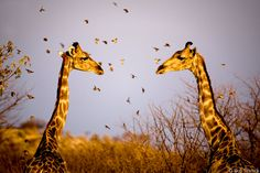 glorious wildlif, stand tall, rob dweck, anim photographi, animal stories, amaz anim