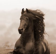 This is a sepia toned image of a Friesian stallion running in California  www.LivingImagesCJW.com