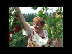 Сад и огород-97 Смородина черная и красная. - YouTube