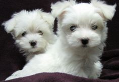 maltes puppi, anim, maltese dogs, maltes dog, maltese puppies