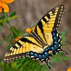 tiger swallowtail, flower pictures, anim, butterflies, tigers, tattoo, insect, moth, swallowtail butterfli