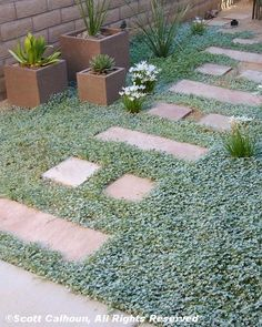 Silver ponyfoot 'Silver Falls' (Dichondra argentea), accented with white rain lilies, makes a striking groundcover. Design by Scott Calhoun.