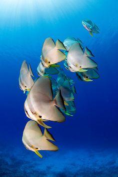 Batfish - Cocos (Keeling) Islands by Karen Willshaw