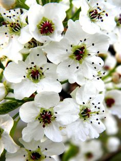 Pear blossoms <3