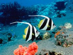 The pennant coralfish (Heniochus acuminatus), also known as the longfin bannerfish or coachman is a tropical fish of the family Chaetodontidae
