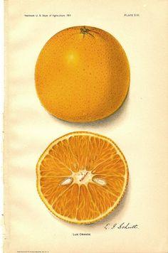 orange botanical drawing