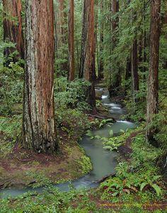 Creek in Montgomery Woods SR, Mendocino County, Ca