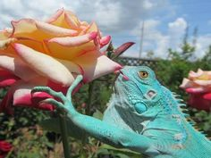 kiss, lizard, color, candi, pets, roses, blue iguana, blues, rose petals