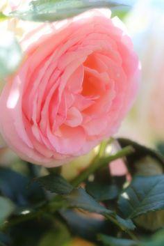 Rose (Pierre de Ronsard)