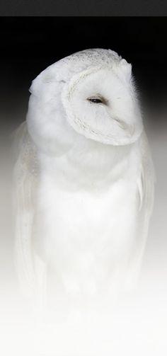 White barn owl • photo: Sue Demetriou on Dark Nature Photography