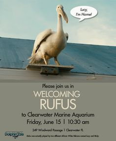 Rufus, one of Dolphin Tale's stars - will now reside at Clearwater Marine Aquarium!