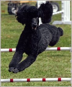 standard poodles, cats meow, cat meow, squirrel