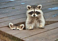 Is the coast clear? animal pics, funny animals, bobs, camping, pet, creatur, train, by myself, raccoon