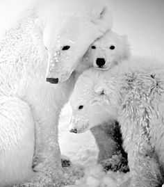 """""""Polar bear mother and her cubs huddled for warmth in Hudson Bay, Canada."""" (From: 32 Spectacular Photos of Winter Wonderlands)"""