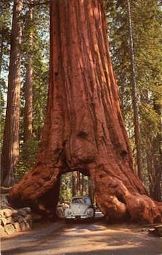 The giant redwoods