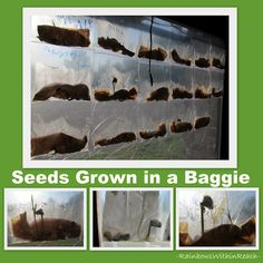 Science for Preschool, seeds and growing in baggie on window greenhouse effect