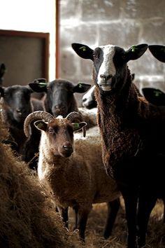 sweet sheep - Wales