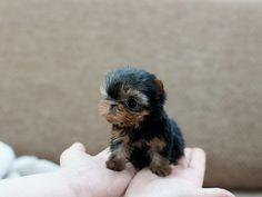 Teacup Yorkie Puppy, omg this is sooo cute!!! :):):)