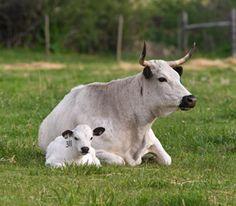 Ancient White Park Cattle