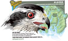An elusive raptor, goshawk, secretly hunts deep in the Tongass National Forest. What surprises can be revealed in this rarest of rainforests?