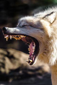 big teeth - Wolf | from Archangel