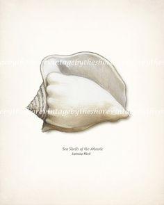 Sea Shell Illustration  Atlantic Whelk  by vintagebytheshore, $15.00