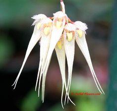 Bulbophyllum sanguineopunctatum Seidenf. & Kerr 1973 sanguineopunctatum seidenf, kerr 1973, exposição orquídea