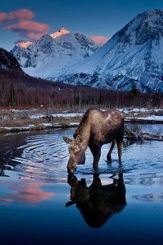 Moose drinking, Alaska, United States.